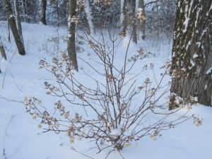 Quick Fire Hydrangea-Winter shrub