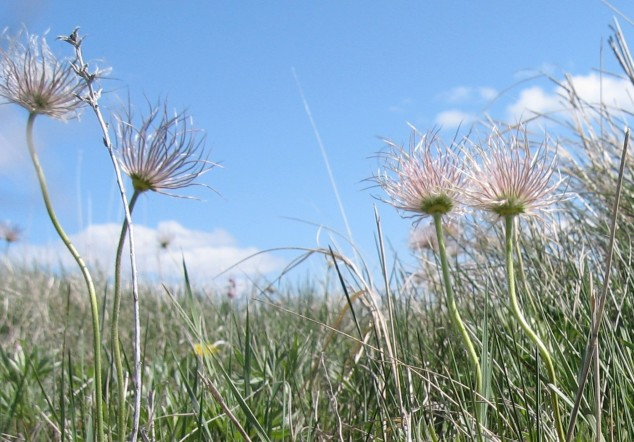 Pasque flower seed heads by LAn