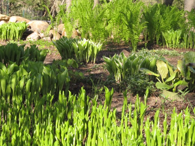 Ferns, hostas and lilies