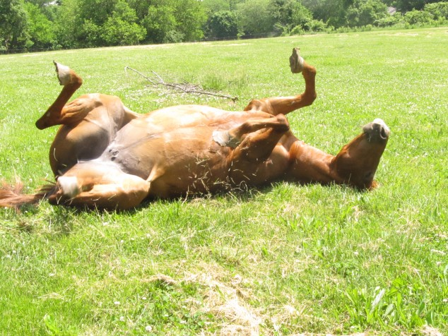 Horse rolling