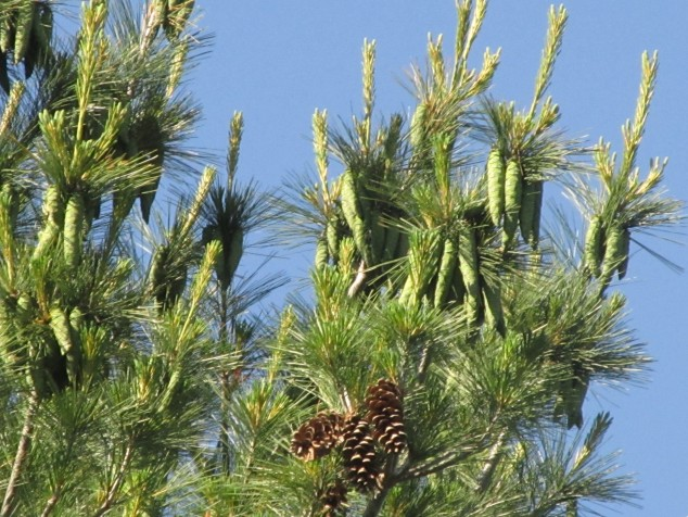 White pine cones--new and old