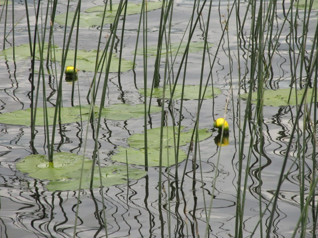 Yellow Pond Lilies in the waves