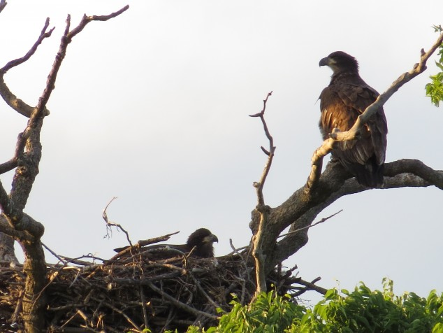 Young eagles in nest