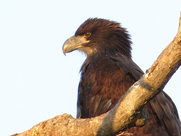 Immature Bald Eagle--close-up