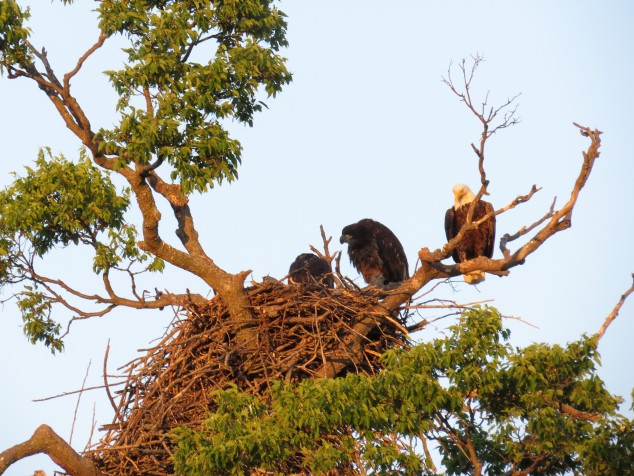 Immature bald eagles with mother