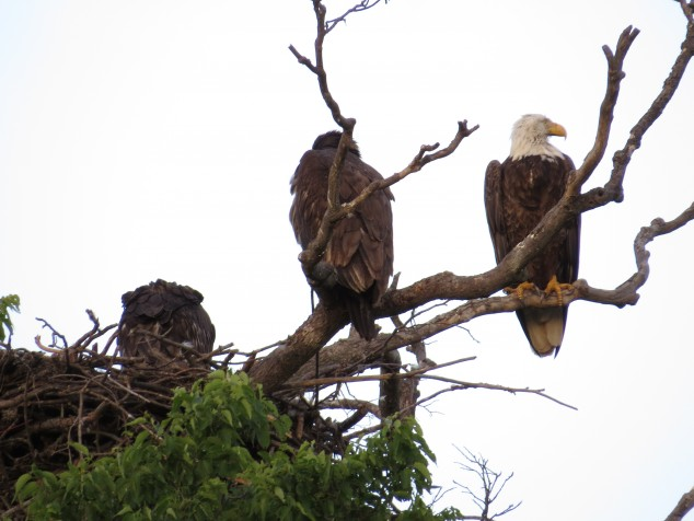 Mother eagle with two fledglings