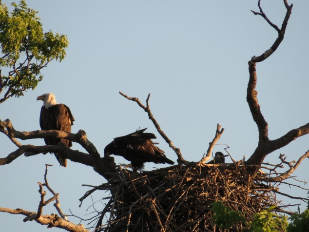 Father eagle with young ones