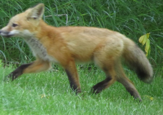 Young fox running