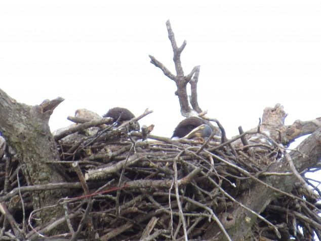 Eaglets in nest