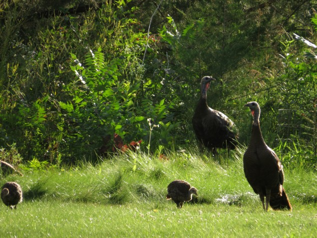 female turkeys and juveniles