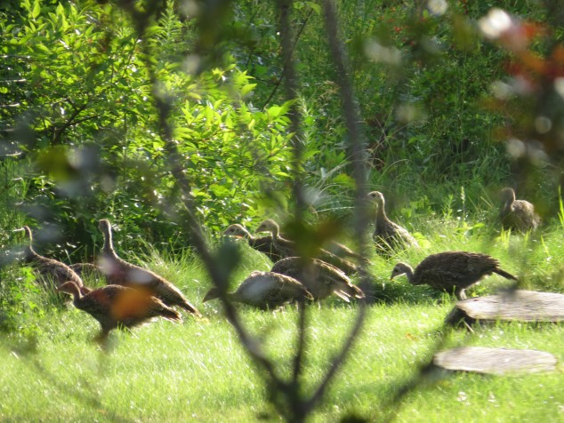 juvenile wild turkeys
