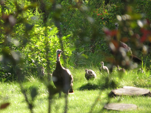 wild turkey hens and juveniles