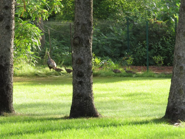 wild turkeys in the yard