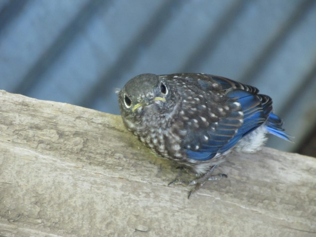 Fledgling bluebird