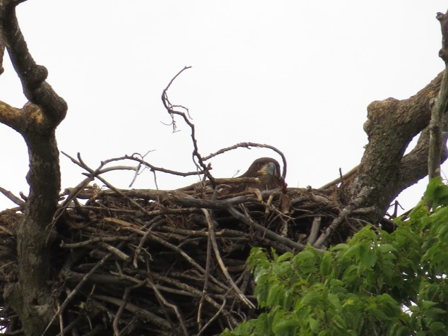 Eaglet in nest