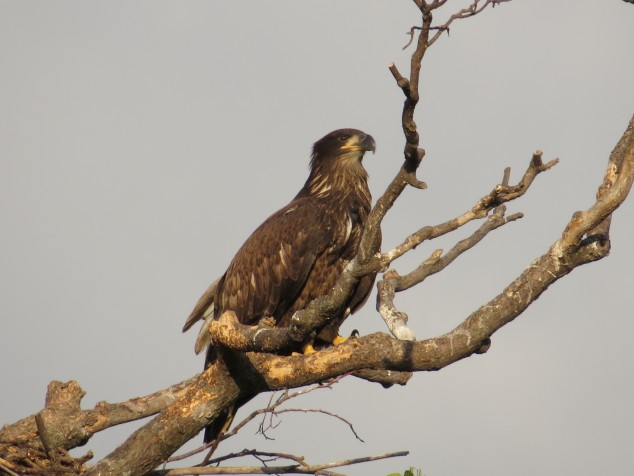 Young eagle on branch