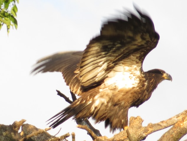 Young eagle flying from the nest