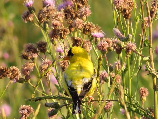 Goldfinch eating thistle seeds