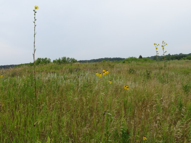 Tall compass plant