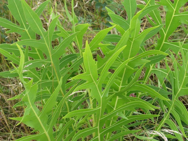 Young Compass plant