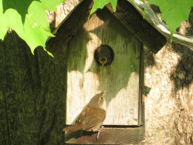 Mama wren and hungry baby