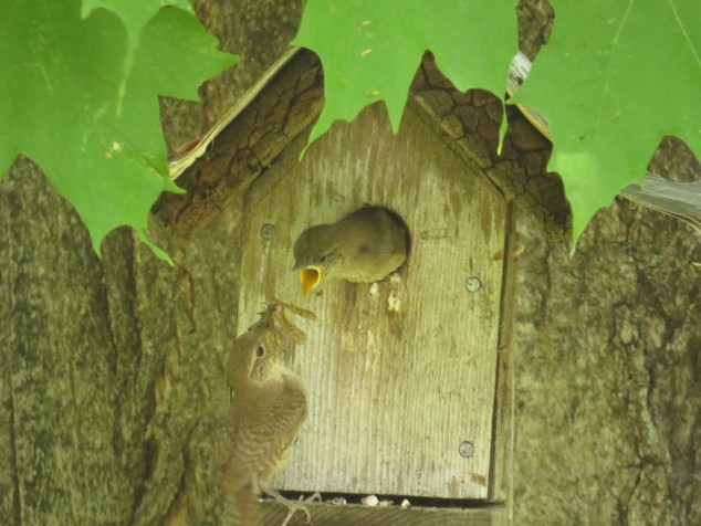 Mama wren with food