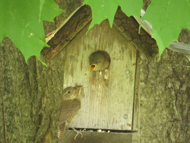 Mama wren with insect