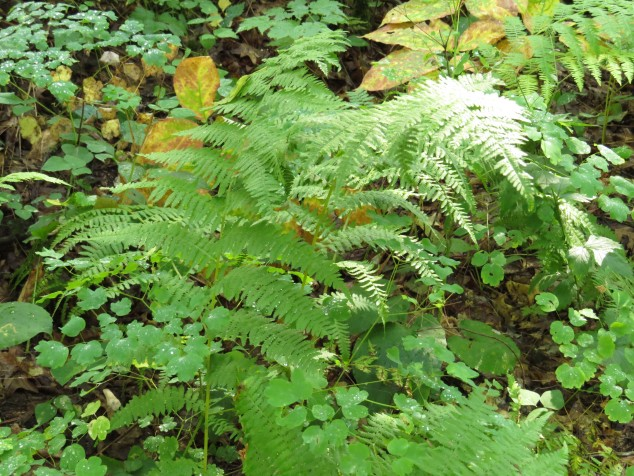 ferns and meadowrue