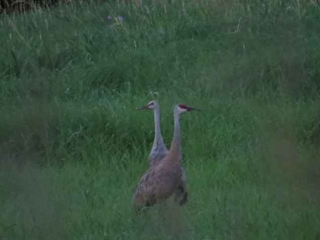 Sandhill cranes at Eagle Park