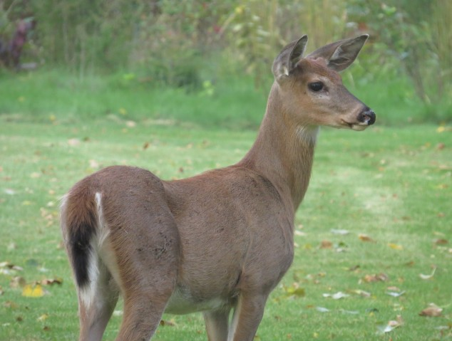 Young deer in the yard