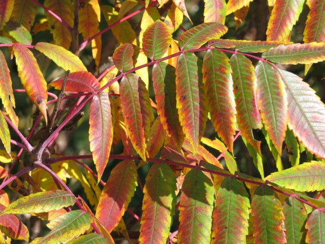 Close-up of sumac leaves
