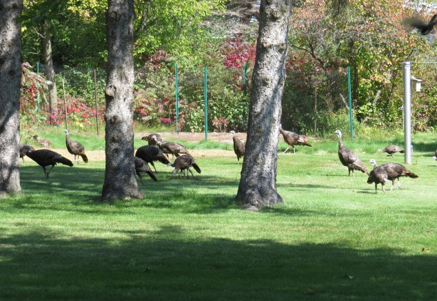 Turkeys in yard
