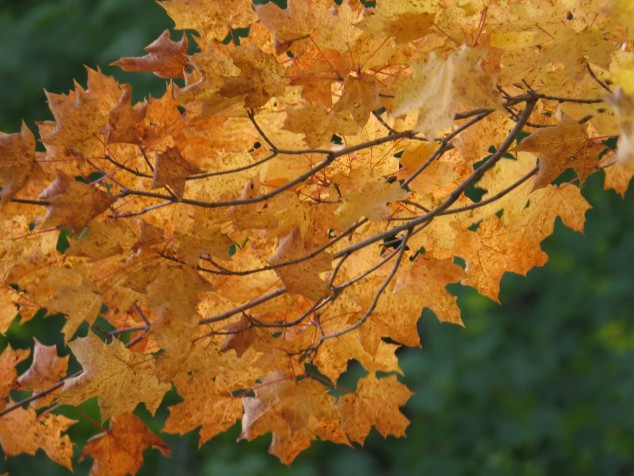 Close up of fall maple leaves
