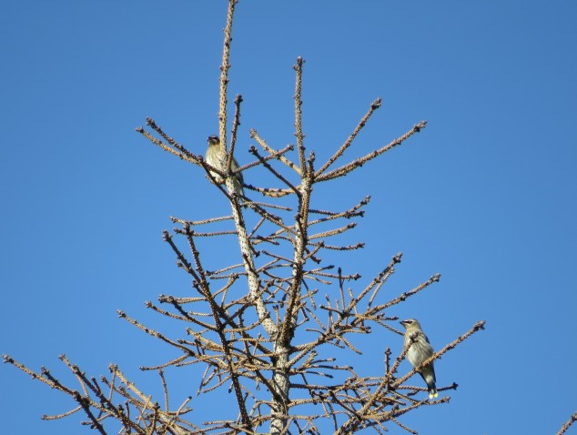 Cedar waxwings in dead spruce