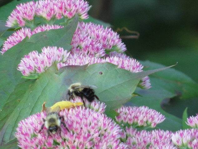 Bees on sedum
