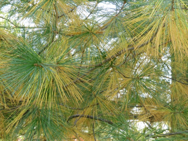 White pine needles turning yellow