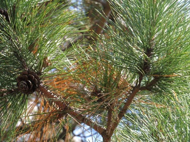 Red pine