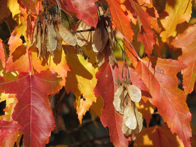 Amur maple seeds in fall