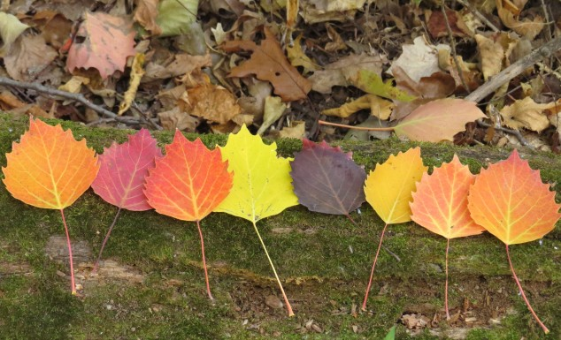 Colorful poplar leaves