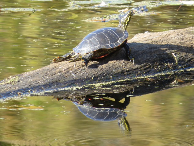 Turtle on log at Lake Maria State Park