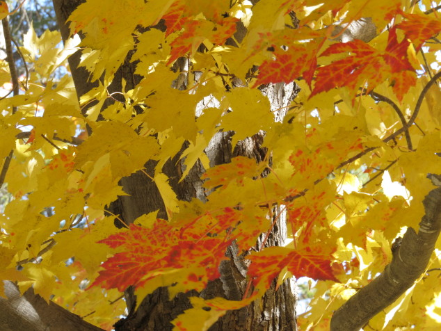 Maple in yellow