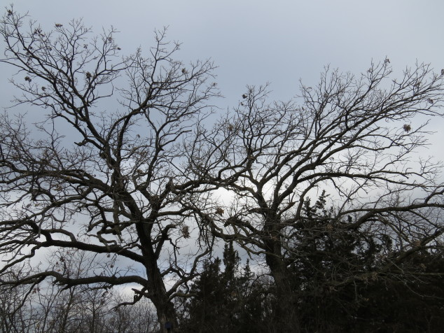 Oaks at the lookout