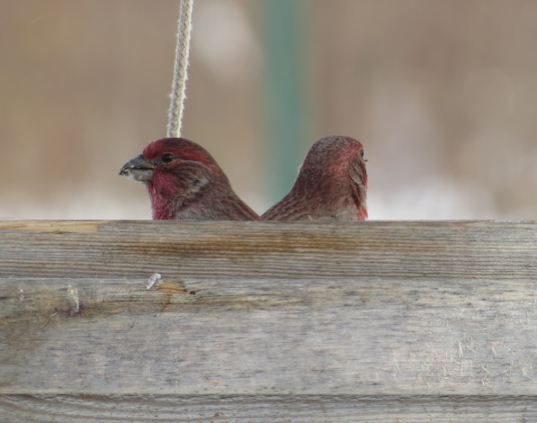 A pair of purple finches in the feeder