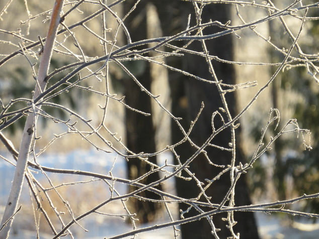 Frost on the birch tree