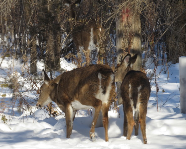 Deer grazing at the edge of the woods