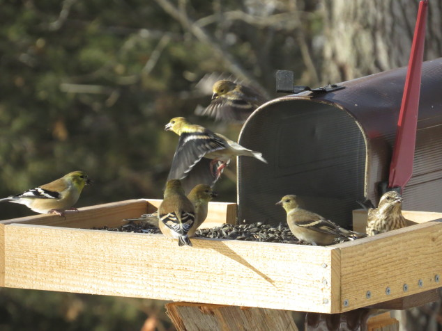 Thanksgiving day birds at the feeder