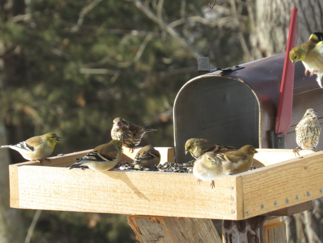 Birds at the feeder on Thanksgiving Day