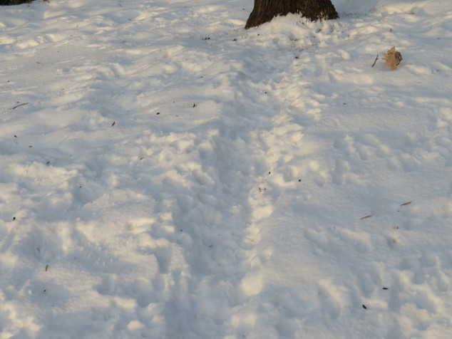squirrel path to maple tree