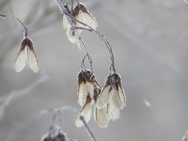 Frost on the maple seeds