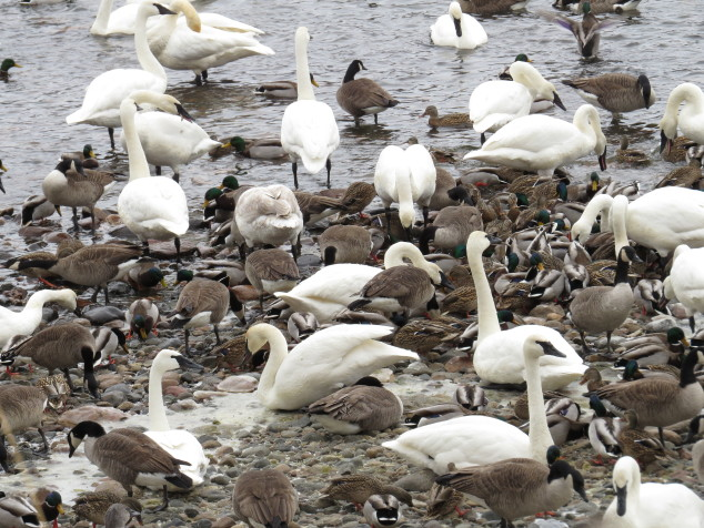 Swans, ducks, and geese